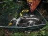 Fekete gólya fióka