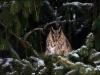 Erdei fülesbagoly (Asio otus)
